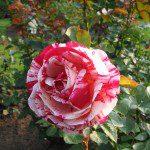 2007 roses 017