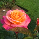2007 roses 021