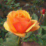 2007 roses 039