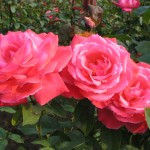 roses, seaside, garden, bloom, free admission, travel, seacoast