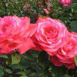 roses, seaside, garden, bloom, free admission, travel, seacoast