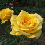 2007 roses 044