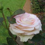 2007 roses 069