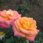 2007 roses 087